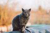 Grey cat on roof