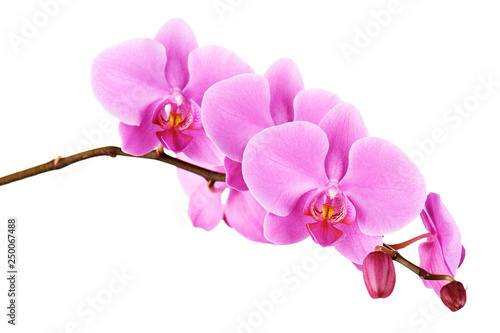 Orchids flowers on banch isolated. - 250067488