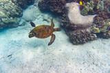 Grüne Meeresschildkröte schwimmt im Meer vor Hawaii über Korallen