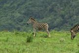 Zebra Punk
