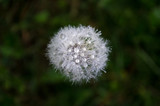 dandelion on background of green grass with water droplets