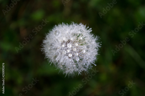 dandelion on background of green grass with water droplets - 250092676