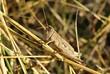 Grasshopper in the grass