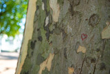Painted red heart on a London Planetree - Platanus hispanica