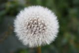 soft solitary dandelion flower in the bush