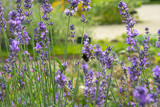 Bees and Lavender 1