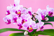 Beautiful pink orchid closeup.