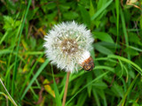 Blooming dandelion in summer