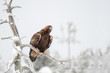 Golden eagle sitting on a tree branch on a cold winter day