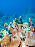 Colorful coral reef at the bottom of tropical sea, underwater landscape.