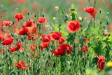 red poppies flower in spring season landscape