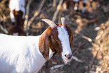 Goat in farm are wlking in the yard