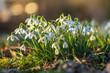 Leinwanddruck Bild - Frühlingsduft - Schneeglöckchen leuchten in der ersten Frühlingssonne