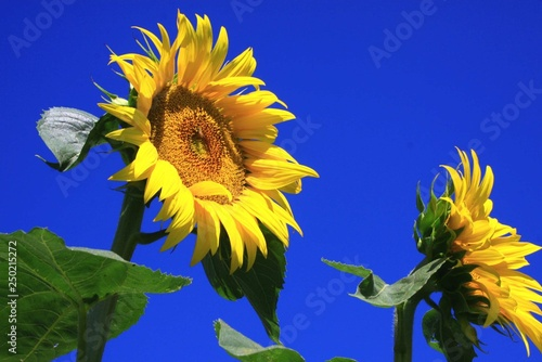obraz lub plakat sonnenblume