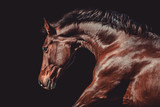 Fototapeta Konie - Brown warmblood mare in action with black background © Luckyshots