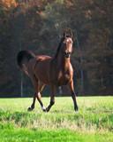 Brown arabian gelding trotting in the fields