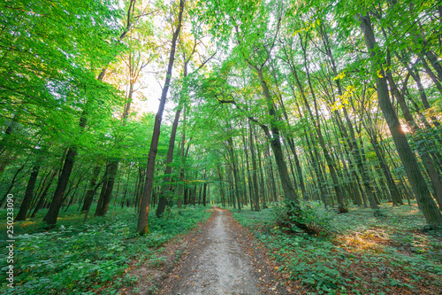 beautiful green forest in summer - 250233090