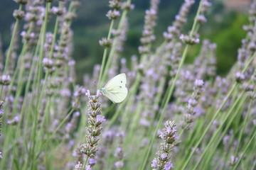 papillon blanc dans les lavandes d'été en provence