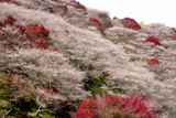 Obara Shikizakura close up on the hill full blooming against in autumn season of Obara district, Toyota city, Nagoya, Japan.