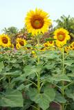 sunflower field of sunflowers