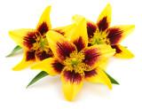 Three yellow lily.