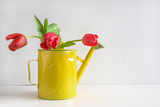 Fresh red tulips in vintage yellow can on white background with copy space