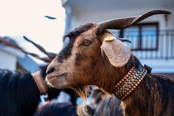 2019-01-27-Buenavista del Norte, Romeria und Viehmarkt. Im Rahmen der Romeria wurden Ziegen ausgestellt, prämiert und von dem Geistlichen gesegnet. Ziegen sind auf Teneriffa weit verbreitet. © Feliz Photo