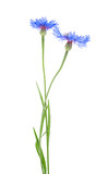 Two blue cornflower flowers on a white background