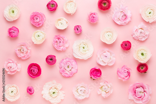 Beautiful colored ranunculus flowers on a pink background. Spring greeting card. © gitusik