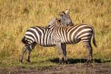zebras inn love