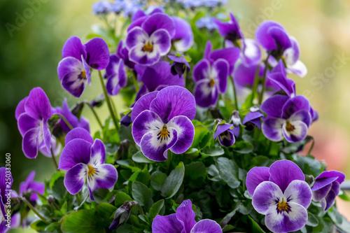 Leinwanddruck Bild Hornveilchen (Viola cornuta)