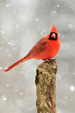 Beautiful photo of a male Northern Cardinal (Cardinalis cardinalis) standing on a perch during a gentle snow. - 250334814