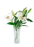 blooming white lily in the vase isolated on white background