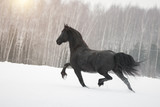 Black friesian horse running on the snow-covered field in the winter. Back side view.