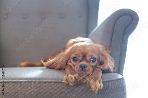 Dog resting on the armchair - 250380224