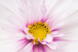 cosmos flower backgrounds