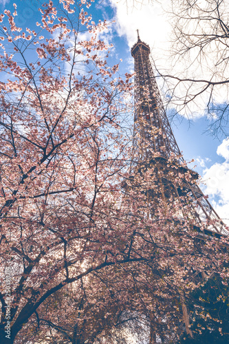 Blossoming sakura against the background of the Eiffel Tower