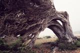 sabina tree, el hierro canary islands, spain