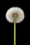Fototapeta Dmuchawce - Blow ball of dandelion flower isolated on black © bravissimos