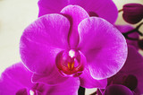 The natural texture of pink phalaenopsis orchids is close-up and copy space. Flowers of coral orchids, toned photo