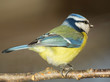 Quadro  Blue tit (Parus caeruleus). East Moravia. Europe.