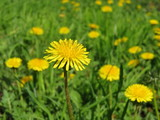 Spring flowers, blooming dandelions on green grass in sunny day. Background for spring season, meadow with wildflowers