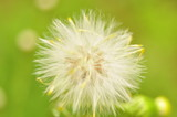 dandelion, flower, nature, seed, plant, green, summer, spring, white, grass, flora, macro, flowers, seeds, weed, fluffy, blossom, wind, blowball, close-up, closeup, meadow, beauty, head