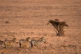 Zebras walking into the morning sun