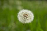 SINGLE DANDELION CLOCK GROWING IN LONG GRASS