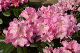 Details of pink azalea or Rhododendron flowers in direct sun light during spring time, close up