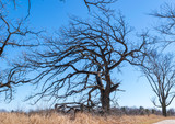 Wind Blown Oak