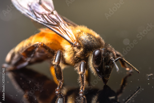 Macro bee black background