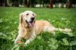 funny golden retriever dog resting on green lawn
