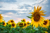 Sunflowers in field at sunset